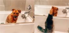 Com medo de tempestades, pit bull se esconde em banheira e é consolada por amigo gatinho