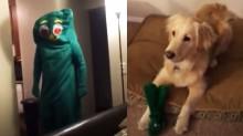 Dono se veste de brinquedo favorito do seu cachorro golden retriever e o leva a loucura