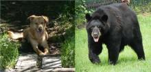 Dona ajuda sua cadela a escapar do ataque de urso em seu próprio quintal nos EUA