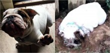 Bulldog viraliza após ser flagrada rolando na lama e perseguindo sua dona