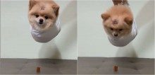 Cachorro lulu da pomerânia recria cena icônica do filme Missão Impossível para pegar petisco e conquista web