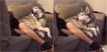Husky fica todo enciumado ao ver dono fazendo carinho em gata (e não nele)