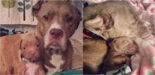 Pit Bull com apenas duas patas adota uma cachorrinha e se tornam inseparáveis