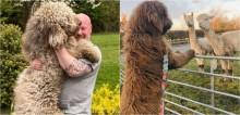 Quase do tamanho do dono, cachorro enorme pede colo como se fosse um filhote