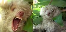 Depois de ser mordido ao tentar resgatar poodle, homem descobre que o cão é cego e só estava tentando se proteger (veja o vídeo)