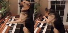 Com talento único, cão pastor alemão viraliza ao tocar piano e fica com vergonha quando erra nota musical