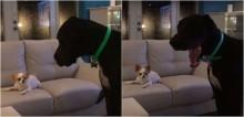 Cão dogue alemão faz birra após chihuahua se recusar a dividir petisco com ele; assista