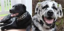 Cachorro labrador muda de cor e chama a atenção na internet com sua beleza exótica; veja fotos