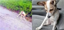Abandonada em lixão, cadela vai mancando até o carro de voluntária para que ela a perceba e a ajude