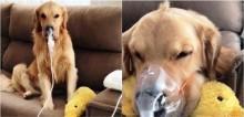 Cão golden retriever doentinho se comporta de maneira exemplar ao ter que usar nebulizador