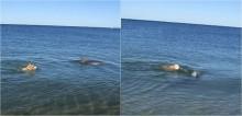 Em passeio na praia, cão golden retriever faz linda amizade com golfinho