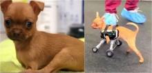 Vídeo: Cadela chihuahua abandonada por nascer sem as patas dianteiras fica super feliz ao ganhar cadeira de rodas e um lar