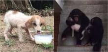 Chimpanzés de santuário abraçam e consolam filhote vira-lata abandonado em estrada - confira o vídeo