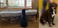 Cachorro que esperava pelo dono falecido ao lado de cama do hospital, comove centenas de pessoas e é adotado
