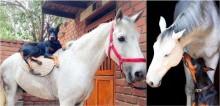 Amigos desde pequenos, doberman e cavalo não se desgrudam