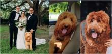 Cão goldendoodle não pôde ir ao casamento de dona, então pai da noiva a surpreende com isso