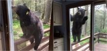 Urso tenta 'invadir' casa de mulher após sentir cheiro delicioso de bolo brownie