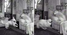 Dona sai de casa e cães golden retriever aproveitam para fazer algazarra; vídeo