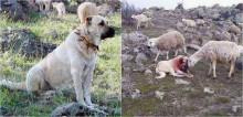 Cachorro pastor luta contra lobo para proteger rebanho e é 'consolado' carinhosamente por ovelha