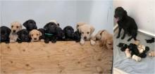 Em parto ilustre, cadela labradora dá à luz 14 filhotes, uma das maiores ninhadas da história na Inglaterra