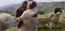 Cachorro ajuda dona a dar mamadeira para cordeiros órfãos em fazenda na Inglaterra - confira no vídeo