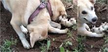 Inconformada com a morte do filhote, cadela labradora desenterra cova até encontrá-lo; vídeo