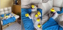 Cachorro bull terrier equilibra 8 patos de borracha enquanto dorme e vídeo viraliza nas redes sociais
