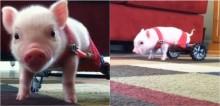Veterinário improvisa 'carrinho de rodas' para porquinho que nasceu sem as patas traseiras