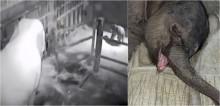 Bebê elefante chora por 5 horas após ser rejeitado pela mãe em reserva natural na China; vídeo