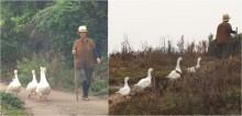 Onde quer que vá, vovó chinesa é escoltada por seus gansos guarda-costas; vídeo