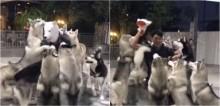 Cães huskys siberianos enlouquecem quando seu dono coloca máscara de cachorro - vídeo