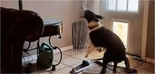 Para se refrescar de calor intenso, cachorro arrasta irrigador do quintal para dentro de casa para se molhar à vontade
