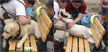 Cão labrador de 50 kg resolve descansar em banco da praça, fica 'entalado' e mobiliza populares - vídeo