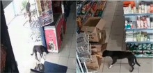 Cão 'assalta' mercearia, mais tarde volta com 'comparsa' e são acolhidos por donos do local em SC; vídeo