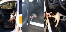 Cachorro abandonado em rodovia entra em viatura policial suplicando por abrigo e é adotado por soldado; vídeo