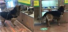 Cadela foge do dono para admirar porquinhos-da-índia em pet shop na Escócia