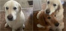 Cachorro golden retriever rouba brinquedo de irmão, depois o abraça pedindo desculpas - vídeo