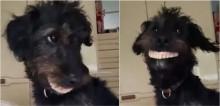 Dona flagra seu cão usando dentadura que ele pegou sozinho na gaveta; confira o vídeo