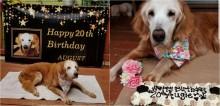 Cadela comemora 20 anos e se torna a golden retriever mais velha da história