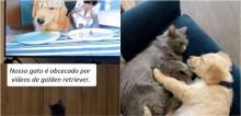 Gata obcecada em assistir vídeos de cães ganha um filhote de golden retriever de estimação e viraliza