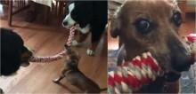 Em disputa de cabo de guerra, dachshund derrota 2 cães com o dobro do seu tamanho; confira