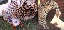 Melhores amigos desde filhotes, leopardo e cachorro se divertem juntos na África do Sul
