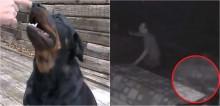 Cadela rottweiler impede indivíduo de invadir residência da família e homem pede desculpas depois