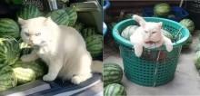 Fiscal das melancias que família vende, gato faz expressão de bravo para espantar saqueadores