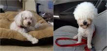 Poodle impede tosadora de terminar o corte e fica com penteado hilário