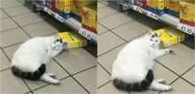 Gato tenta furtar comida no supermercado e acaba dormindo em cima do alimento no meio do corredor