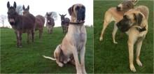 Cão dogue alemão se encanta com burros recém chegados na fazenda e logo se tornam grandes amigos