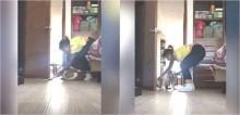 Cão buldogue se recusa a sair do quarto da dona para acompanhá-la em aula online; assista