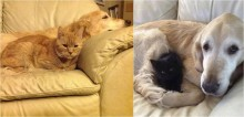 Golden retriever que perdeu seu melhor amigo felino para o câncer, ganha novo gatinho para superar luto
