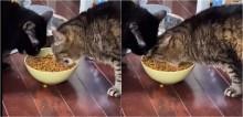 Gato come igual hipopótamo para não dividir ração com seu amigo e viraliza na web